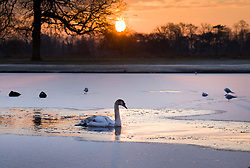 © Licensed to London News Pictures. 11/02/2021. London, UK. A young swan among the pond ice at a freezing Bushy park, south west London. Overnight temperatures reached -5C in parts of the south east. Photo credit: Peter Macdiarmid/LNP