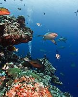 Reef sharks in Micronesia