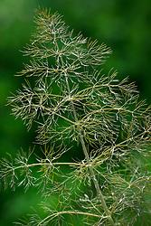 Foeniculum vulgare 'Purpureum', bronze fennel