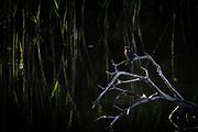 Kingfisher at dawn. Dorset, UK.