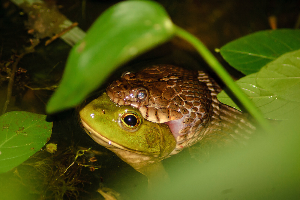 A snake swallows a calm looking frog in a small pond
