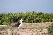 An adult Laysan Albatross standing at Kaena Point.