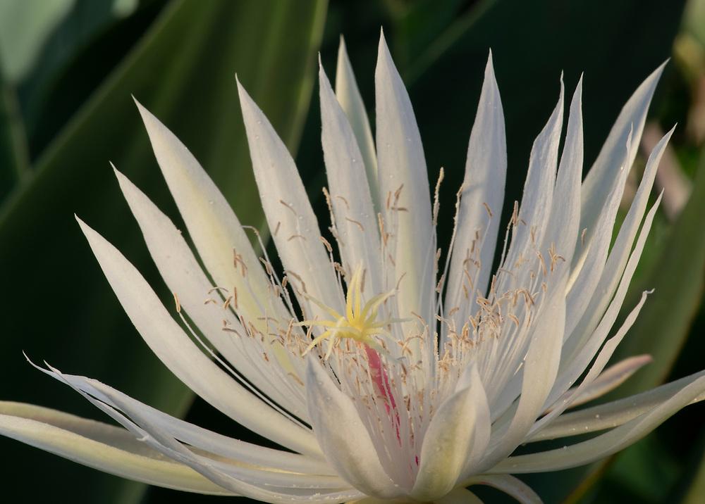 Cereus in Its Prime