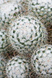 Mammillaria bombycina - Cactus