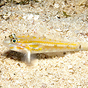 Pallid Goby inhabit sand chutes, also around coral reefs in sheltered locations in Tropical West Atlantic; picture taken San Salvador, Bahamas.