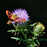 Clearwing Hummingbird Moth on Thistle Bloom. Sourland Mountain Preserve, Summer Nature in New Jersey. Image taken with a Nikon D3s and 200 mm f/2 VR lens + TC-E III 20 teleconverter (ISO 200, 400 mm, f/4, 1/800 sec). Raw image processed with Capture One Pro 8, Focus Magic, and Photoshop CC.