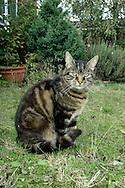 Domestic Tabby Cat - Felis silvestris catus