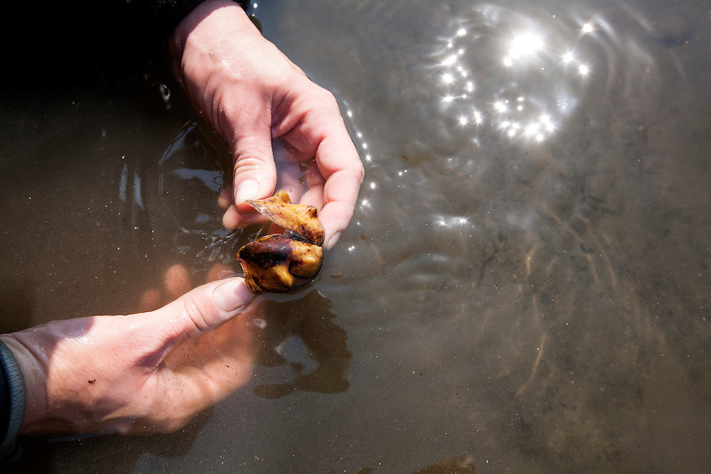 National Park Service biologist  Allie Holdhusen holds the shell of a Threehorn Wartyback mussel she found in the Mississippi River August 14, 2015.