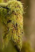 Cat-tail Moss