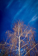 Birch tree & cirrus clouds in November 2016. Pyrenees, France