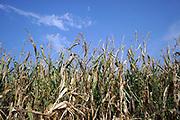 Nederland, Voerendaal, 16-9-2020  Een maisveld met rijpe mais klaar voor de oogst .Foto: ANP/ Hollandse Hoogte/ Flip Franssen
