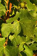 A Merlot leaf on the vine at Chateau Lafleur, Pomerol, Bordeaux.