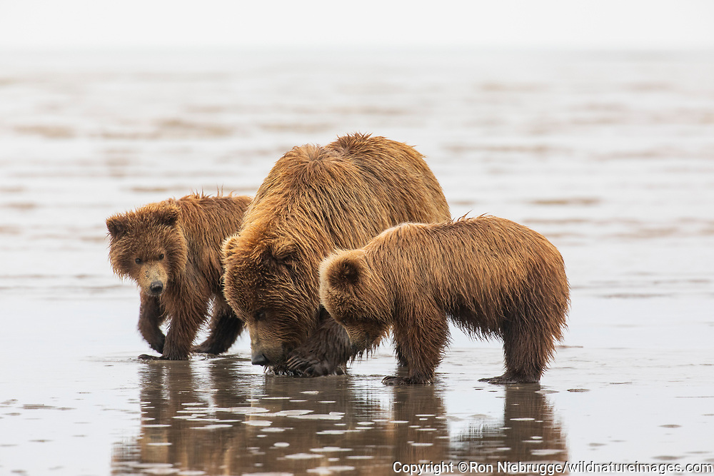 Grizzly Bear sow with cubs, Lake Clark National Park, Alaska.
