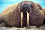 Walrus from Phippsøys (part of Seven Islands) off northern Nordaustlandet, Svalbard. July 2012.