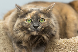 Dani the cat, a long hair calico colored indoor domesticated feline