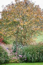 The berries of Sorbus 'Joseph Rock' - Mountain ash, Miscanthus sinensis 'Yakushima Dwarf', Calamagrostis × acutiflora 'Karl Foerster', Anemone hupehensis 'Bowles's Pink', Euonymus planipes - Flat-stalked spindle tree syn. Euonymus sachalinensis misapplied'