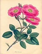 ROSA Provincialis, Province Rose From the book Roses, or, A monograph of the genus Rosa : containing coloured figures of all the known species and beautiful varieties, drawn, engraved, described, and coloured, from living plants. by Andrews, Henry Charles, Published in London : printed by R. Taylor and Co. ; 1805.