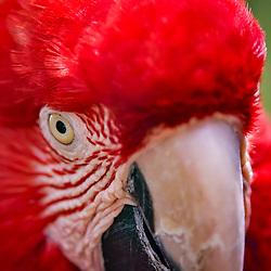 Arara-vermelha-grande (Ara chloropterus) fotografado em Goiás - Centro-Oeste do Brasil. Bioma Cerrado. Registro feito em 2015.<br /> ⠀<br /> ⠀<br /> <br /> <br /> <br /> <br /> <br /> ENGLISH: Red-and-green Macaw photographed in Goias - Midwest of Brazil. Cerrado Biome. Picture made in 2015.