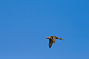 Duck flying over Los Angeles River. Glendale Narrows, Elysian Valley, Los Angeles, California, USA