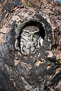 Little owl sitting in hole in tree, Athene noctua, Captive, UK