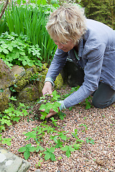 Carol Klein digging up self sown seedlings including Geranium nodosum, Viola riviniana and Alchemilla mollis