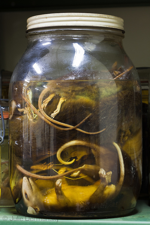 Mamma in a jar at the Tulane Natural History Museum.