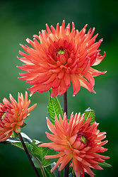Dahlia 'Rockcliffe Billy'