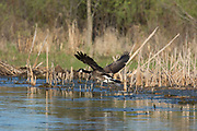 Canada goose in flight over muskrat lodge