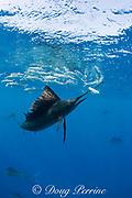 Atlantic sailfish, Istiophorus albicans, bills a sardine out of a bait ball of Spanish sardines (aka gilt sardine, pilchard, or round sardinella ), Sardinella aurita, off Yucatan Peninsula, Mexico ( Caribbean Sea )