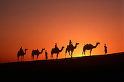 INDIA, RAJASTHAN camel caravan in the Great Thar Desert at sunset near Jaisalmer