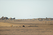 Brown hyena (Parahyaena brunnea oder Hyaena brunnea), Tsau-ǁKhaeb-(Sperrgebiet)-Nationalpark, Namibia | Schabrackenhyäne (Parahyaena brunnea oder Hyaena brunnea) in der Baker's Bay, Sperrgebiet National Park, Namibia