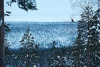 WILD RAVEN; CORVUS CORAX; OULANKA NATIONAL PARK; KUUSAMO; KITKAJOKI; FINLAND 2009; EUROPE; WINTER
