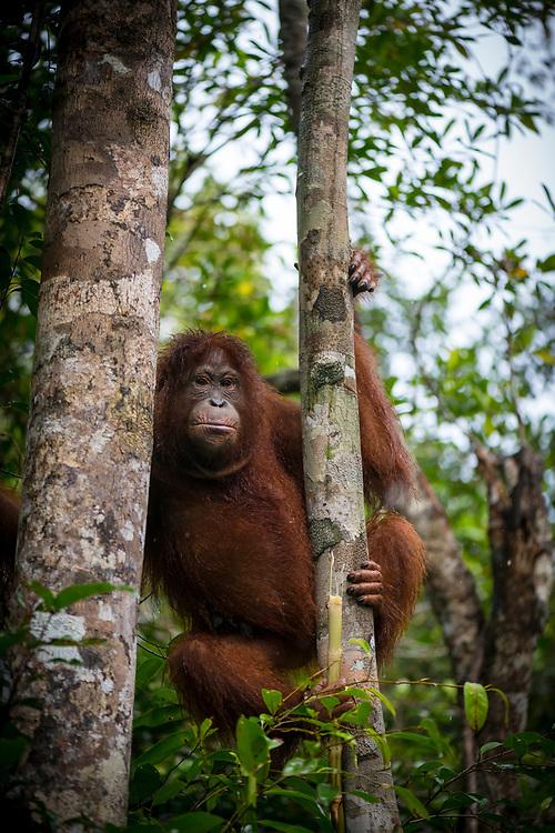 Central Kalimantan, Indonesia - March 5, 2017: Orangutan in a tree at Tanjung Puting National Park in Kalimantan, Indonesia.