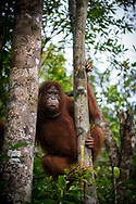 Orangutan in a tree at Tanjung Puting National Park in Kalimantan, Indonesia. (March 5, 2017)