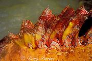 spotted scorpionfish, Scorpaena plumieri, <br /> close-up of venomous dorsal spines,<br /> Grand Cayman, Cayman Islands ( Caribbean )