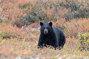 Black bear in autumn habitat