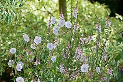 Geranium pratense with Linaria purpurea 'Canon Went'. Toadflax