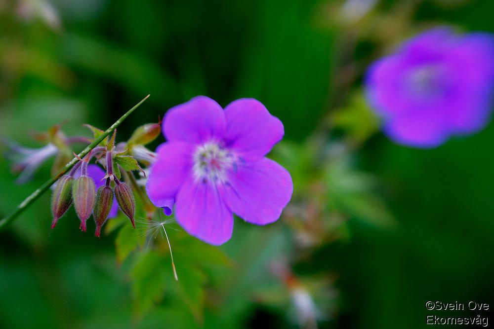 En lilla blomst fotografert på Ellingsøya i Ålesund kommune. <br /> <br /> Foto: Svein Ove Ekornesvåg