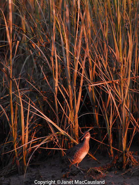Soras are extremely shy and rarely seen. This one ventured out from the reeds onto a marsh in Guilford, Connecticut near sunset, then promptly retreated.