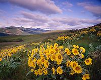Meadows of Arrowleaf Balsamroot, Methow Valley Washington USA