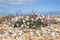 Sea Campion growing in shingle at Dungeness, Kent. Silene maritima syn. Silene uniflora
