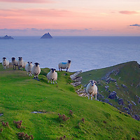 Irish Landscape Sunset at Valentia Island Cliffs with sheep and view on the great skellig from Bray Head, County Kerry Iveragh Peninsula Southwest Ireland / vl074 <br /> <br /> www.facebook.com/ilovetheSkelligs<br /> <br /> —STORY BEHIND THIS MOMENT—<br /> <br /> I captured this moment on a mild september evening, shortly after the sun had disappeared behind the horizon line. I was walking up to Bray Head on Valentia Island. Once I arrived at the tower, a herd of curious sheep greated me. They just kept looking at me in aweeee. I grabbed quickly my camera, moved in slow motion to not frighten them, set up my tripod and captured it. It was the perfect composition, the most beautiful, sweet light and the grass was still lush from the passing summer. <br /> <br /> Sheep are so deeply connected to the kerry landscape. Skellig Michael and Little Skellig in the background appear to be floating along the horizon line. The softness of the juicy green grass and a rough cliff created a wonderful contrast.<br /> <br /> This moment represents a perfect evening on the Skellig Coast. If this photograph touches you and you decide to hang it on your wall, it will represent a peaceful gateway into the essence of the south west Kerry landscape in your home. Get it if it speaks to you. ****** <br /> <br /> Visit & browse through my Photography & Art Gallery, located on the Wild Atlantic Way & Skellig Ring between Waterville and Ballinskelligs (Skellig Coast R567), only 3 minutes from the main Ring of Kerry road.<br /> https://goo.gl/maps/syg6bd3KQtw<br /> <br /> ******<br /> <br /> Contact: 085 7803273 from an Irish mobile phone or +353 85 7803273 from an international mobile phone