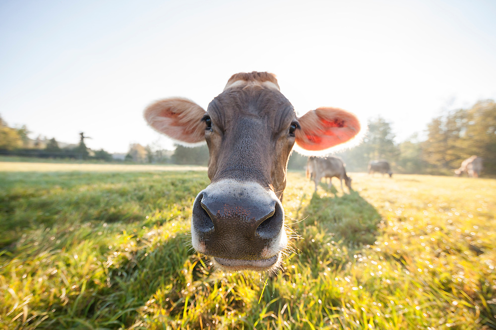 Closeup of a brown Swiss cow grazing while looking at the camera