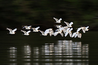 A flock of cattle egret,   Bubulcus ibis, flying over a river.