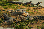 Spectacled Caiman or Jacara Caiman Concentration (Caiman crocodilus yacare)<br /> Pantanal. Largest contiguous wetland system in the world. Mato Grosso do Sur Province. BRAZIL.  South America