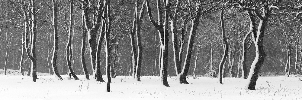 Black and white panoramic image of snow falling heavily in the woods in St Brelade, Jersey, Channel Islands