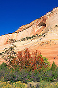 Fall color under the Great White Arch in Upper Zion Canyon, Zion National Park, Utah