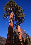 Andy Taylor climbs a giant redwood near Springville, California.