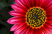 Close-up abstract of the centre of a bright deep red daisy flower growing in a Surrey garden in summer
