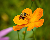 Bumblebee on a yellow-orange Cosmos flower. Backyard summer nature in New Jersey. Image taken with a Nikon 1 V3 camera and 70-300 mm VR telephoto zoom lens (ISO 400, 250 mm, f/5.6, 1/800 sec).